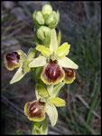 Ophrys litigiosa Grabels (34) Le : 05-04-2004