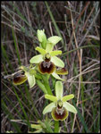 Ophrys litigiosa Grabels (34) Le : 08-04-2004