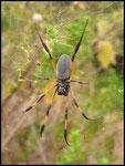 Bib-Nephila inaurata-8-11-05