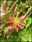Euphorbe écarlate-Euphorbia punicea-Cascade du Bras rouge-Cirque de Cilaos 3-11-05
