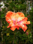 Hibiscus-Chez Doris-Cirque de Cilaos 3-11-05