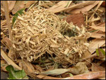 Nid de bellier ou tisserin (Ploceus cucullatus spilonotus)
