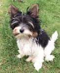 Biewer-Yorkshire-Terrier Lui hat wunderschöne Stehohren :-)