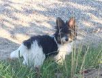 Biewer-Yorkshire-Welpe Lui beim Spaziergang mit seiner neuen Familie