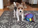 Biewer-Yorkshire-Terrier Berlioz bei seiner neuen Familie. Er ist wohl schon geschoren :-)