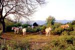 Le troupeau de Chevaux de Régagnas