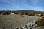 Le troupeau de Chevaux sur le Causse