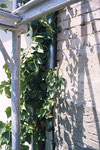 Der natürliche Feind einer Fassade wuchs bereits bis unters Dach