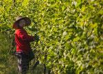 aythaya vineyard