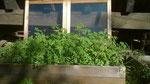 des plants de tomates poussent naturellement sur le compost...dommage nous sommes en octobre !