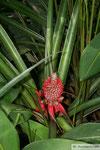 wilde Ananas