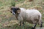 Argyll-Schaf