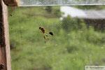 Wespen auf Fiji