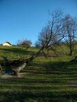 abatage de l'arbre