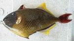 ナメモンガラカワハギ:通称トミメ。フライでとても美味い。歯が強いので針はずすときは要注意。堤防磯船どこでも掛かる。