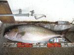 かんぱち : 写真はヒレナガカンパチ。がんがんファイトして食べても美味い高級魚。