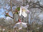 センターの山桜(5月)