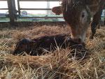 Auch im Stall werden Kälber geboren