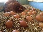 Bei den Hühnern ist jeder Tag ein Erntetag