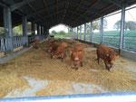 Der neue Rinderstall wird zum ersten mal bezogen