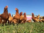 Wirklich glückliche Hühner...