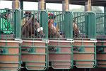 Pferderennen Neue Bult #2  - www.neuebult.de