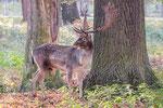 Hirsch im Tiergarten Hannover