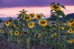 Sonnenblumen Hemmingen