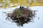 Brutzeit im April: Die Vogelmutter brütet ihre Eier im Nest auf dem Wasser aus. Foto: Helga Karl