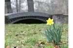 Eine gelbe Narzisse auf der Wiese, im Hintergrund eine graue Brück. April im Schlosspark Charlottenburg. Foto: Helga Karl