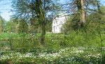Waldboden weiß bedeckt mit Buschwindröschen. April im Schlosspark Charlottenburg. Foto: Helga Karl