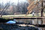 Ein Schwan steht am Ufer, am anderen Ufer des Wassers sitzt ein Mensch auf der Parkbank. Foto: Helga Karl