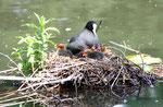 Ausgeschlüpft, Mai. Vogelmutter mit Kücken im Nest auf dem Wasser. Foto: Helga Karl