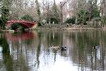 Die rote Brücke im  März.  Vorbereitung der Wasservögel  auf die Brutzeit, Vogelnest im See im Schlosspark. Foto: Helga Karl