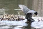 Imponieren. Flügelschlagen vor dem Nest im See Schlosspark Charlottenburg. Foto: Helga Karl