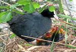 Wasservögel im Mai: Vogelmutter mit den Kücken - sie haben rote Köpfe. Foto: Helga Karl