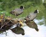 Juli - wieder allein: Vogelpaar vor ihrem Nest im See.  Die Jungen sind selbständig. Foto: Helga Karl