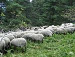 Moutons en estive sur le Mont Chaussitre