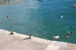 Katzen- und Ententreffen am Hafen von Plaka