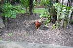 くじゃくのお隣さんのニワトリ。なんか知らんけど威嚇されて追っかけられた。