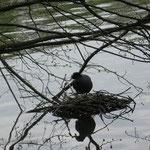 Foulque - étangs de comelles - gite Chantilly - gîte la Fontaine St Gervais