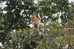 Nasenaffe (Sabah / Borneo)