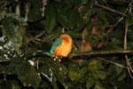 Eisvogel (Sabah / Borneo)