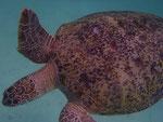 schon wieder Schildkröte