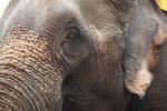Elefanten sind allgegenwärtig in Thailand