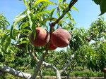 Pfirsichplantage am Wegesrand