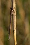 weibliche Sibirische Winterlibelle
