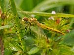 frisch geschlüpftes Weibchen der 2. Generation - Der Fund dieses weiblichen Jungtieres der Frühen Heidelibelle (Sympetrum fonscolombii) durch unsere neue Kollegin C., kann schon als eine Sensation angesehen werden.