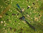 Eiablage der Fledermaus-Azurjungfer inmitten vieler Larven
