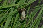 ein Weibchen während des Schlupfes